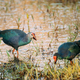 Goa, India. Two Grey-headed Swamphen Birds In Morning Looking For Food In Swamp. Porphyrio - PhotoDune Item for Sale