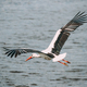 Adult European White Stork Flies Above Surface Of River With Its Wings Spread Out - PhotoDune Item for Sale