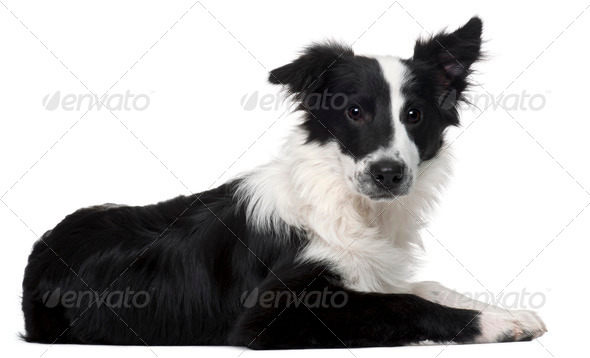 Border Collie, 4 months old, lying in front of white background - Stock Photo - Images