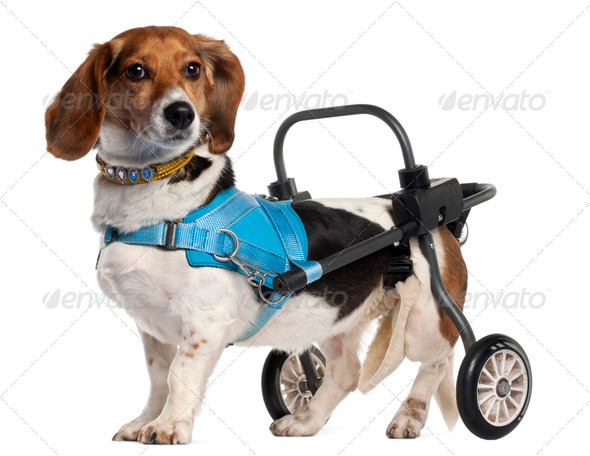 Paralyzed handicapped Basset Artésien Normand dog, 8 years old, in front of white background - Stock Photo - Images