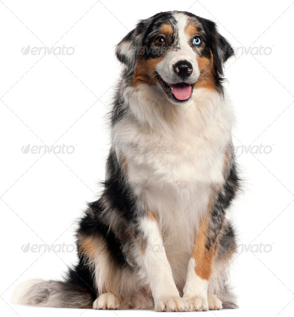 Australian Shepherd dog, 1 year old, in front of white background - Stock Photo - Images