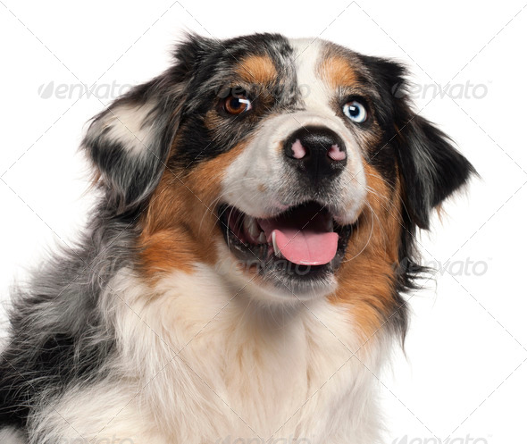 Close-up of Australian Shepherd dog, 1 year old, in front of white background - Stock Photo - Images