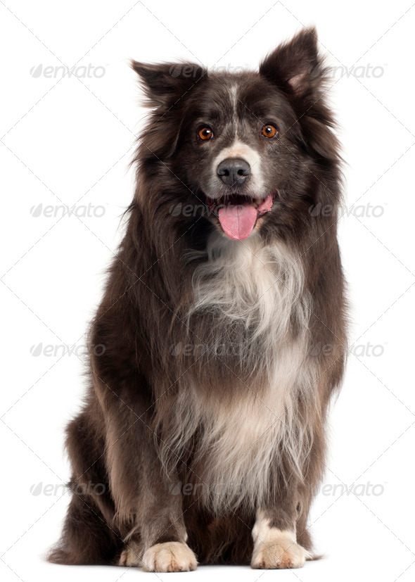 Border Collie, 8 years old, in front of white background - Stock Photo - Images