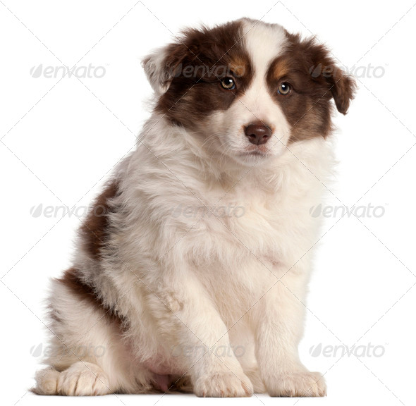 Border Collie puppy, 2 months old, sitting in front of white background - Stock Photo - Images