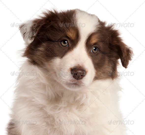 Close-up of Border Collie puppy, 2 months old, in front of white background - Stock Photo - Images