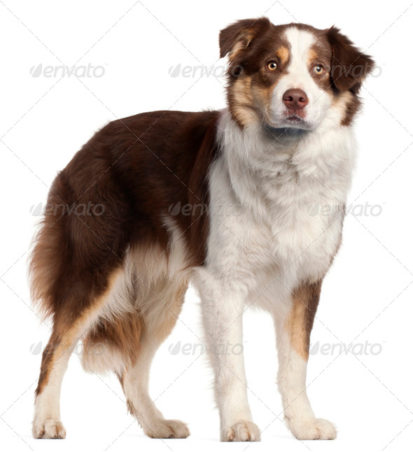 Border Collie puppy, 11 months old, standing in front of white background - Stock Photo - Images