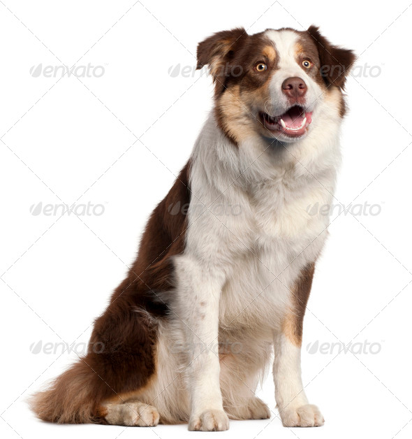 Border Collie puppy, 11 months old, sitting in front of white background - Stock Photo - Images