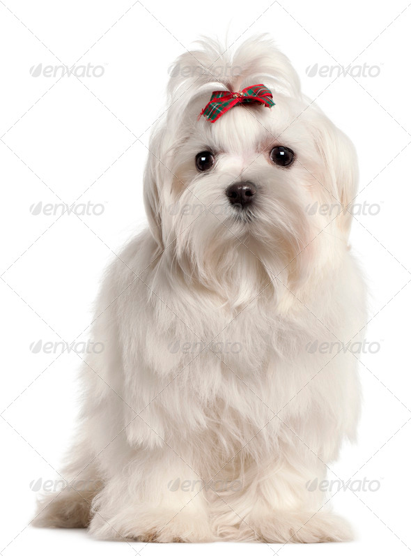 Maltese puppy, 4 months old, in front of white background - Stock Photo - Images