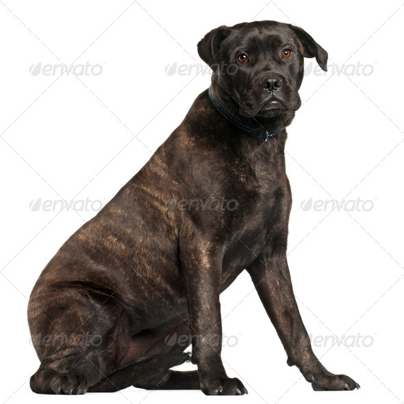 Bullmastiff, 8 months old, sitting in front of white background - Stock Photo - Images