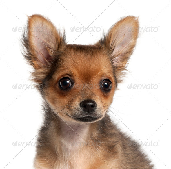 Close-up of Chihuahua puppy, 2 and a half months old, in front of white background - Stock Photo - Images