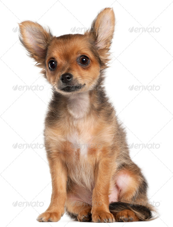 Chihuahua puppy, 2 and a half months old, sitting in front of white background - Stock Photo - Images