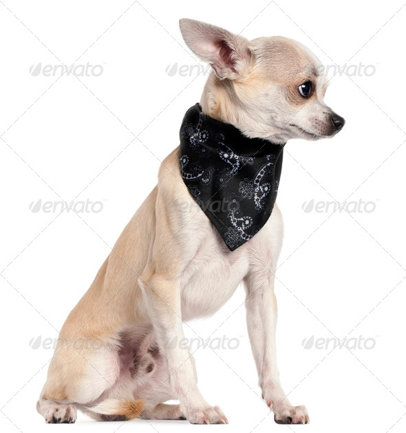Chihuahua wearing handkerchief, 8 months old, sitting in front of white background - Stock Photo - Images