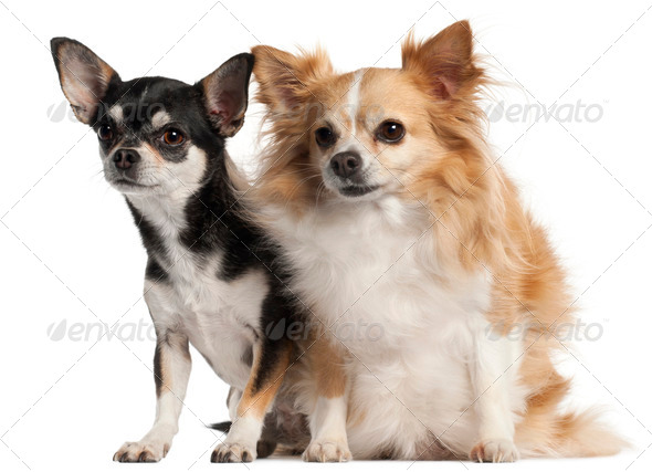Chihuahua, 8 and 3 years old, sitting in front of white background - Stock Photo - Images