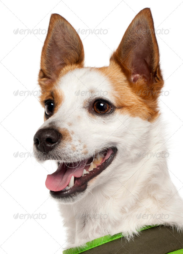 Close-up of Mixed-breed dog, 1 and a half years old, in front of white background - Stock Photo - Images
