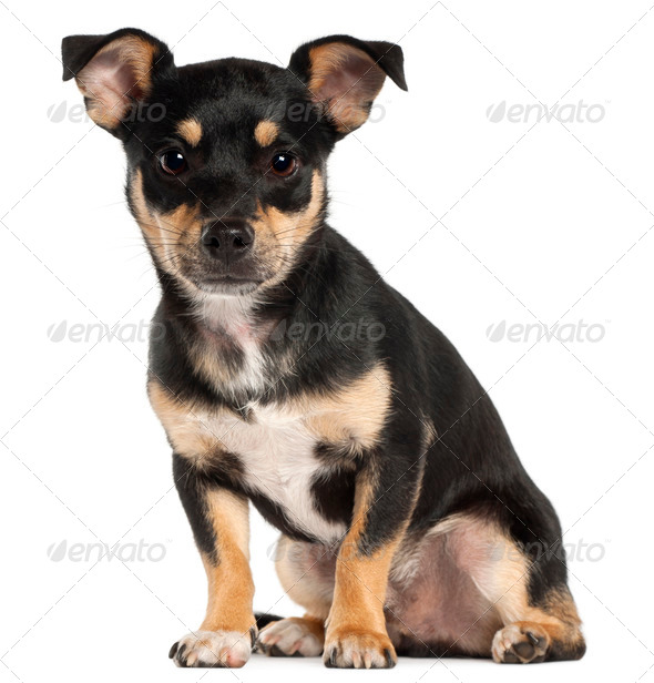 Miniature Pinscher, 9 months old, sitting in front of white background - Stock Photo - Images