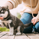 Four-week-old Husky Puppy Of White-gray-black Color Eating From Hands Of Owner And Help With Paw - PhotoDune Item for Sale