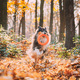 Funny Young Shetland Sheepdog Sheltie English Collie Playing With Ring Toy In Autumn Park. Tricolor - PhotoDune Item for Sale