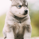 Four-week-old Husky Puppy Of White-gray Color Sitting On Wooden Ground - PhotoDune Item for Sale