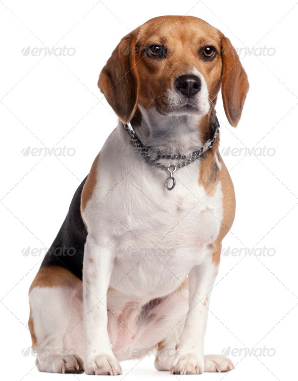 Beagle, 16 months old, sitting in front of white background - Stock Photo - Images