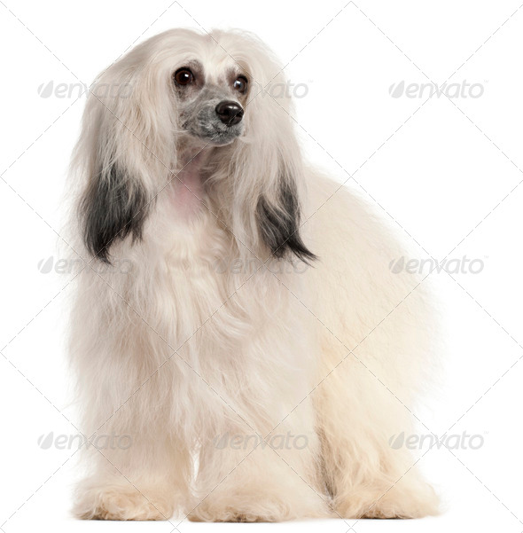 Chinese Crested Dog, 15 months old, in front of white background - Stock Photo - Images