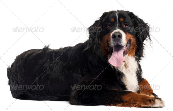 Bernese mountain dog, 2 years old, lying in front of white background - Stock Photo - Images