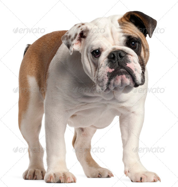 English bulldog, 7 months old, standing in front of white background - Stock Photo - Images