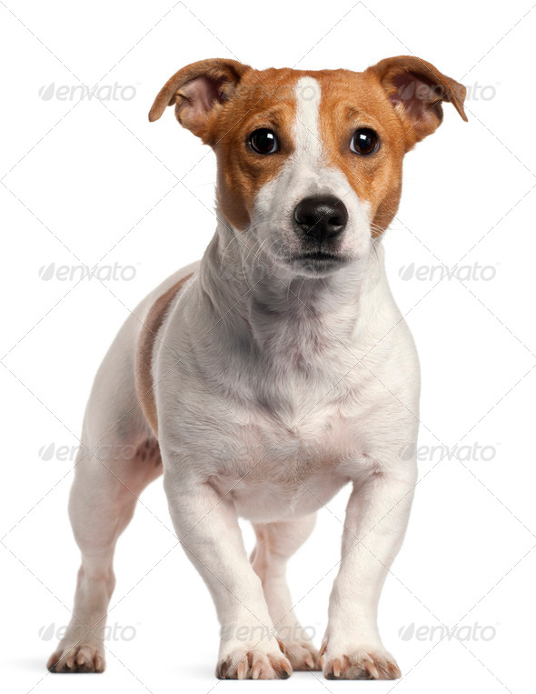 Jack Russell Terrier, 16 months old, standing in front of white background - Stock Photo - Images