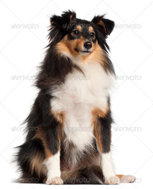 Shetland Sheepdog, 1 year old, sitting in front of white background - Stock Photo - Images