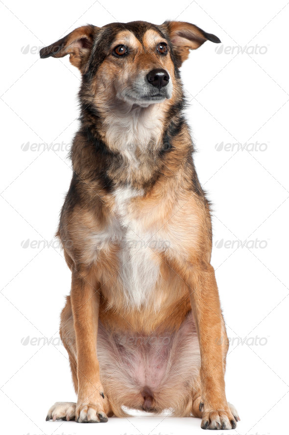 Mixed-breed dog, 4 years old, sitting in front of white background - Stock Photo - Images