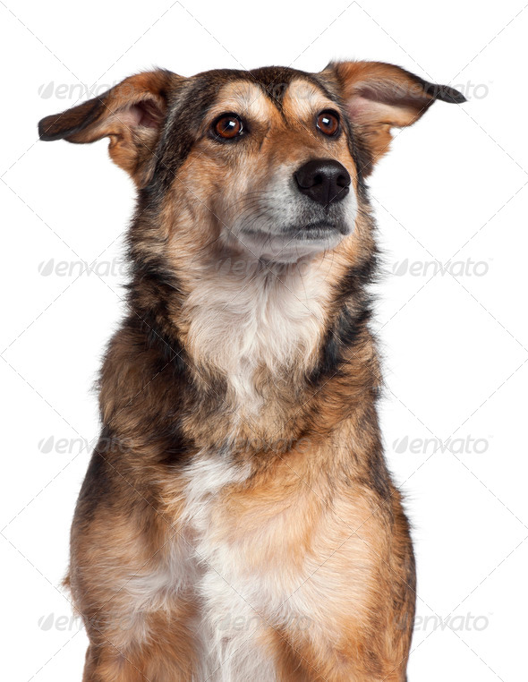 Close-up of Mixed-breed dog, 4 years old, in front of white background - Stock Photo - Images