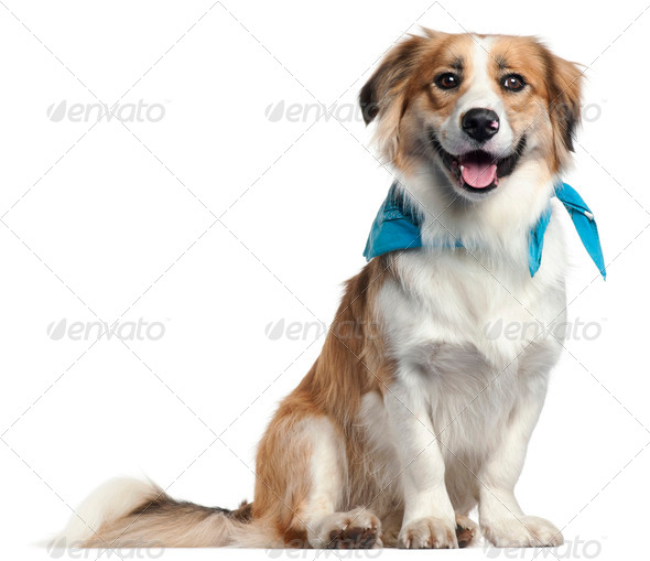 Border Collie wearing blue handkerchief, 1 year old, in front of white background - Stock Photo - Images