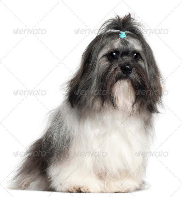 Shih Tzu, 9 months old, sitting in front of white background - Stock Photo - Images