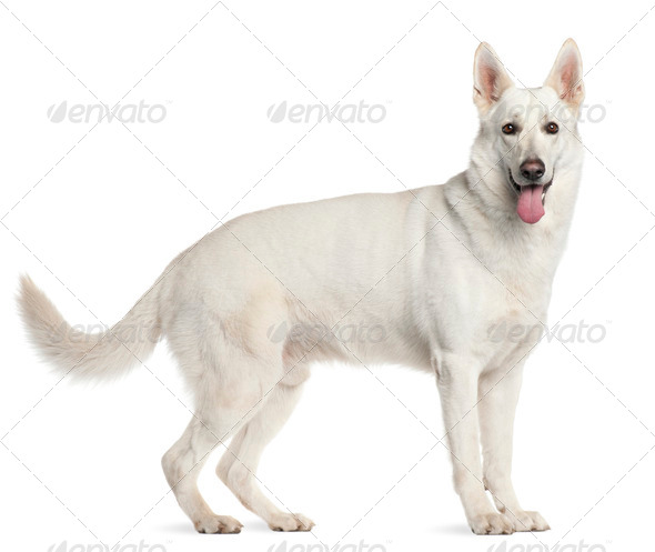 Berger Blanc Suisse, 4 years old, standing in front of white background - Stock Photo - Images