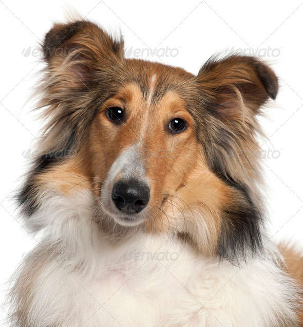 Close-up of Scotch Collie, 9 months old, in front of white background - Stock Photo - Images