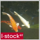 Fish In Pond - VideoHive Item for Sale