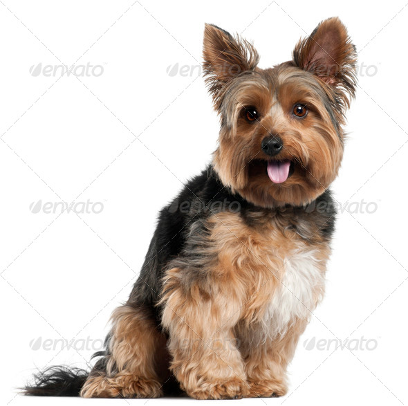 Yorkshire Terrier, 2 years old, sitting in front of white background - Stock Photo - Images