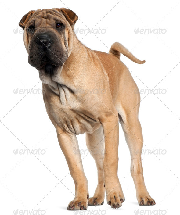 Shar Pei puppy, 6 months old, standing in front of white background - Stock Photo - Images