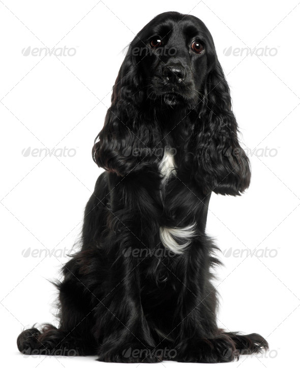 English Cocker Spaniel, 8 months old, sitting in front of white background - Stock Photo - Images