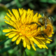 Bee get pollen from dandelion - PhotoDune Item for Sale
