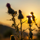 Burdock flowers with sunset sun beams - PhotoDune Item for Sale