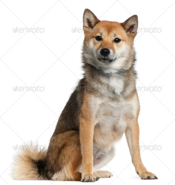 Shiba Inu, 1 year old, sitting in front of white background - Stock Photo - Images