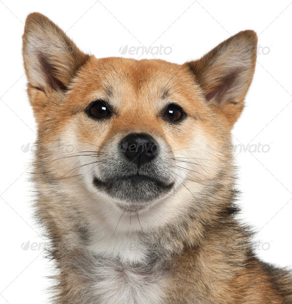 Close-up of Shiba Inu, 1 year old, in front of white background - Stock Photo - Images
