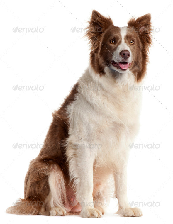 Border Collie, 2 years old, sitting in front of white background - Stock Photo - Images