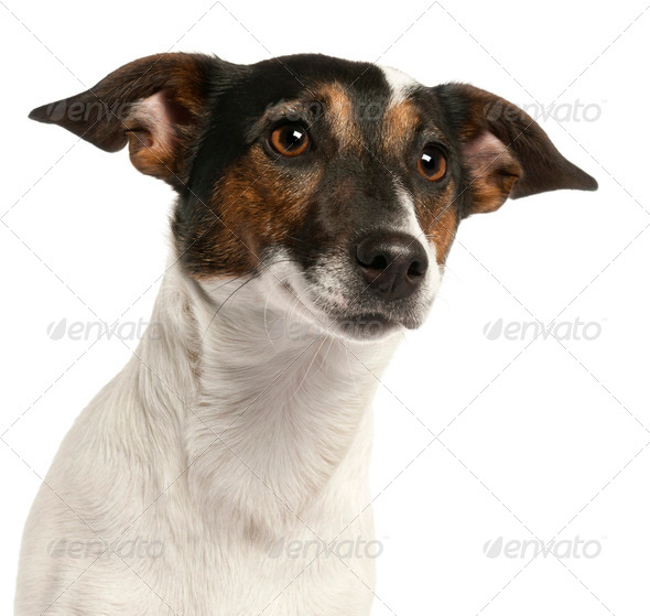 Close-up of Jack Russell Terrier, 1 and a half years old, in front of white background - Stock Photo - Images