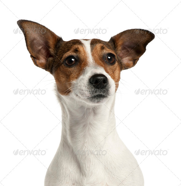 Close-up of Jack Russell Terrier, 2 years old, in front of white background - Stock Photo - Images