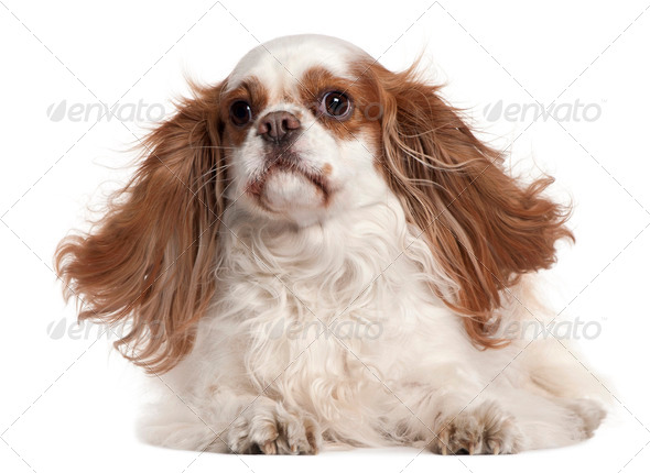 Cavalier King Charles Spaniel, 4 years old, lying in front of white background - Stock Photo - Images