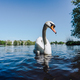 White Swan swimming on Alster lake in Hamburg on a sunny day - PhotoDune Item for Sale