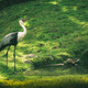 Closeup shot of a Wattled crane - PhotoDune Item for Sale
