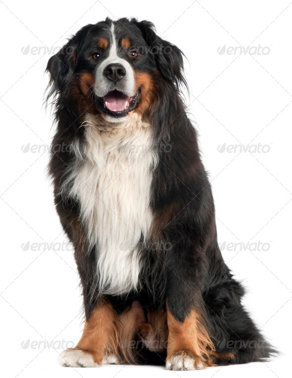 Bernese Mountain Dog, 6 years old, sitting in front of white background - Stock Photo - Images