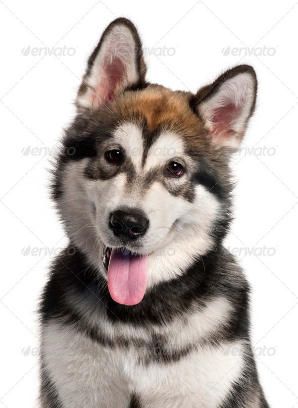 Close-up of Alaskan Malamute puppy, 5 months old, in front of white background - Stock Photo - Images